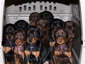 Garrett's Dobermans Puppy Site