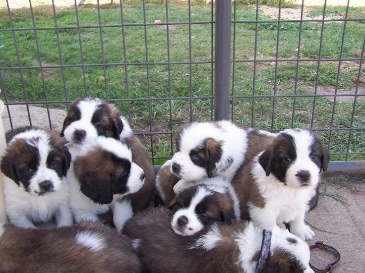 St Bernard Puppies for sale