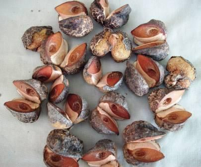 UNUSUAL NUTS | HAKEA NUTS (sold out)