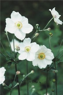 ~Anemone x hybrida 'Honorine Jobert' - this one is fabulous! Tried and true. Tree circle