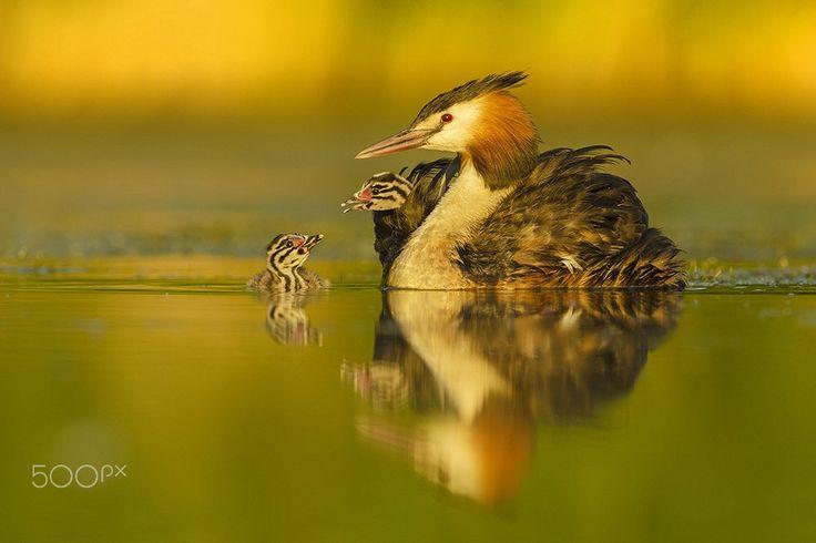 Great Crested Grebe - http://www.wildlifenature.eu/Galeria_c-4