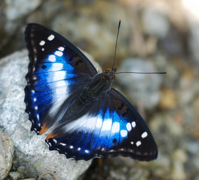 Indian Purple-Emperor - Apatura ambica - From Sikkim, India, by Isaac Kehimkar, via Flickr