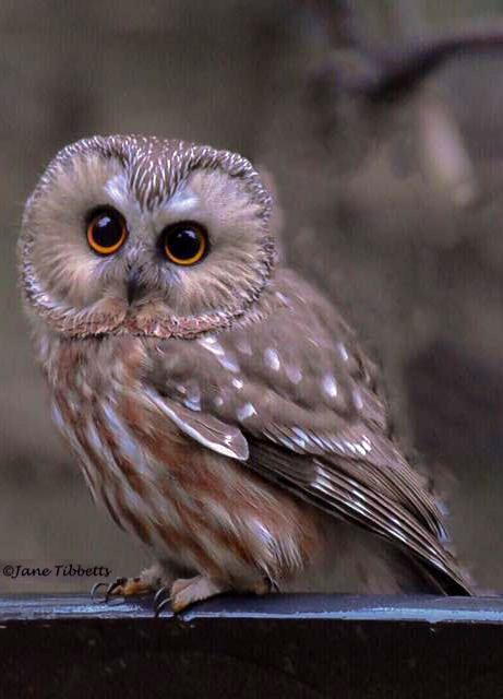 Northern saw-whet owl. Ou la Petite Nyctale est une espèce de rapace nocturne appartenant à la famille des Strigidae. On l'appelle aussi chouette de Minerve. Nom scientifique : Aegolius acadicus. Cf. Wikipédia