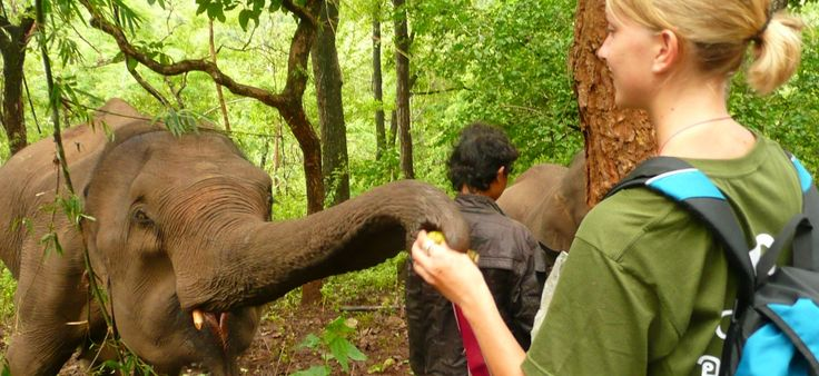Travel to Thailand's Chiang Mai Province and volunteer with elephants rescued from working in the tourist industry.Assist with the elephants' rehabilitation and help mahouts (traditional elephant keepers) and other villagers with establishing alternative livelihoods.Discover the fascinating culture and lush mountain forests of Northern Thailand in your free time.