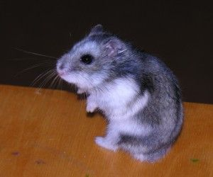 """Russian dwarf hamster"" can refer to either of 2 species – the Campbell's dwarf hamster or the Winter White dwarf hamster or a hybrid of the two. Here's a guide to russian dwarf hamsters."