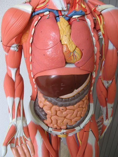 Modèle anatomique vendu par le CHU de Caen
