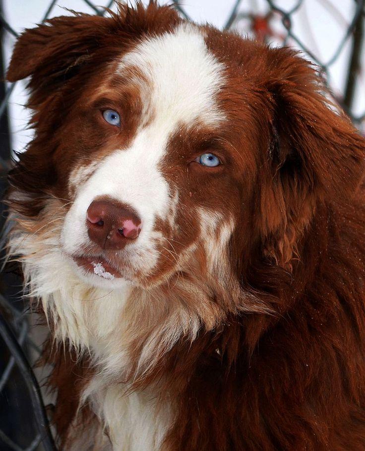 red tri aussie  beautiful dog