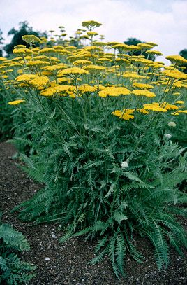 Rhs plant selector achillea 39 coronation gold 39 agm rhs for Garden plant information