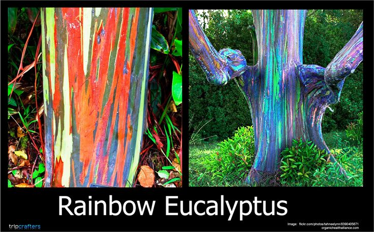 #AmazingPlanet These trees may look like they've been painted on, but these colors are all natural. This peculiar tree is called Eucalyptus deglupta, commonly known as the Rainbow Eucalyptus. Patches of outer bark are shed annually at different times, showing a bright green inner bark. This then darkens and matures to give blue, purple, orange and then maroon tones. Also, its natural distribution spans New Britain, New Guinea, Seram, Sulawesiand Mindanao.