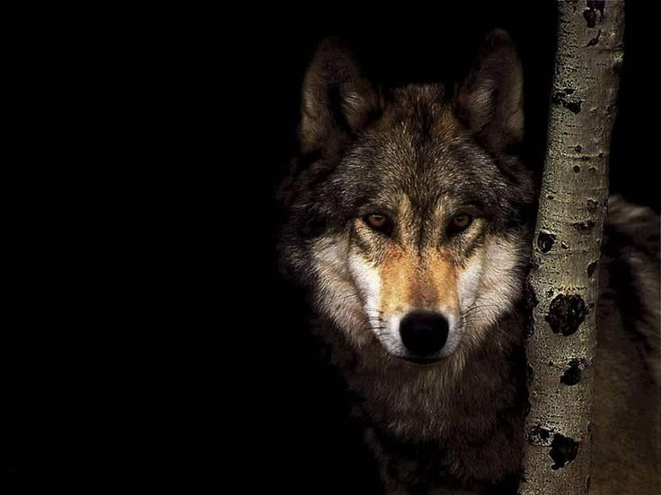 Lone Wolf. [Desktop wallpaper 1024x768] | Animal Desktop ...