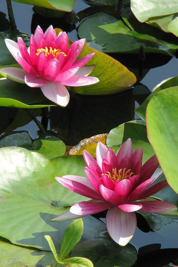 Perfect Pair- Water Lily
