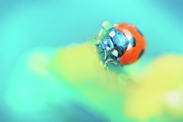 Ladybug In Aqua Mood Photograph by Oksana Ariskina #OksanaAriskina #Macro #Photography #Insect #Aqua #Yellow #Lemon #ladybird #ArtForHome #FineArtPrints #InteriorDesign #PrintsForSale #Summer #BuyArt