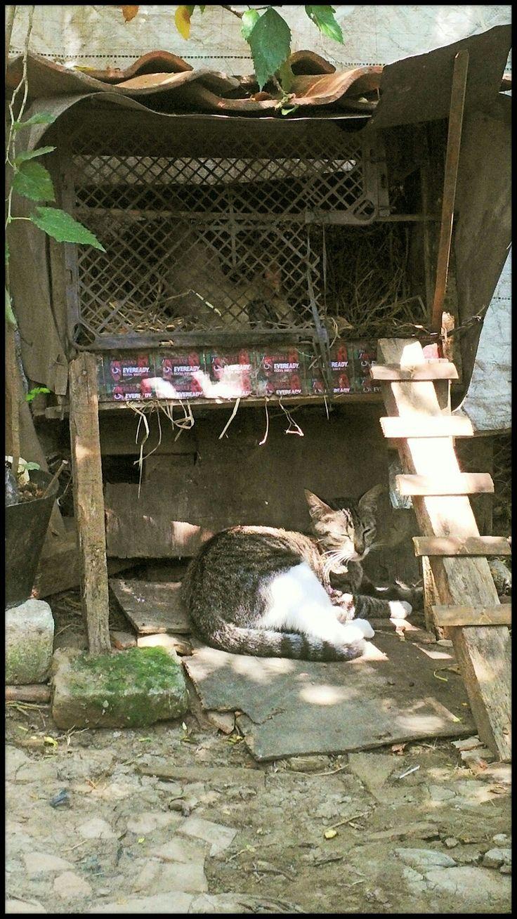 Kandang ayam bertelur & kucing ku