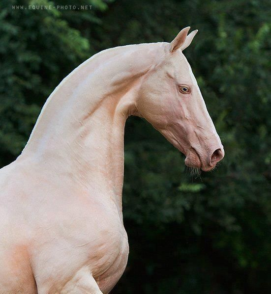 The rare and beautiful Akhal-Teke horse.