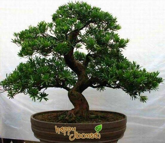 Types of Bonsai Trees | Bonsai Trees - Tree Species Commonly Used for Bonsai Trees | Happy ...
