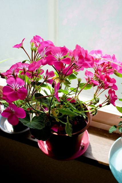 Elegant House Plants: Zonal Pelargonium (Sweet Annette)   Check Out The Free Plant  Identification