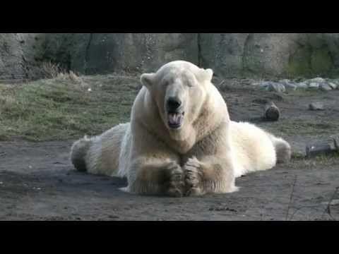 Lentekriebels bij ijsberen in Diergaarde Blijdorp - Polar bears got 'spring fever'    Lees verder op: http://www.diergaardeblijdorp.nl/?DocID=5617    read more on: http://www.diergaardeblijdorp.nl/?DocID=5619