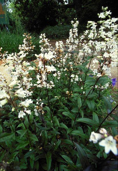 SmartScape Plant Details   Penstemon, Husker Red. Texas PlantsTexas  GardeningFence ...