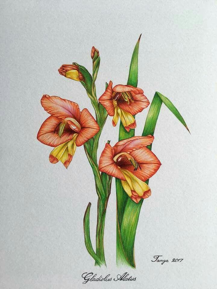 Ballpoint Pen drawing Gladiolus Alatus