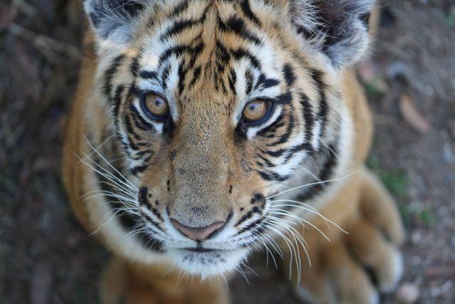 Baby Tiger 1