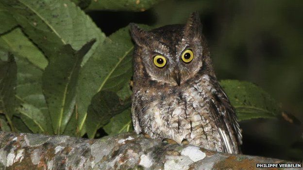 Rinjani Scops Owl (Otus jolandae) - A new species of owl discovered in Lombok, Indonesia, has been formally described by scientists.