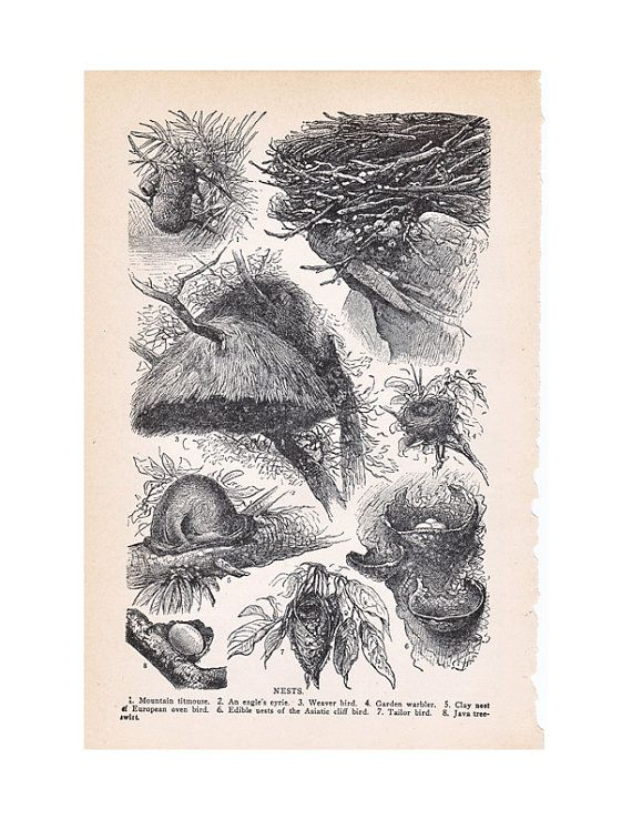 Bird nests illustration from a 1930's era dictionary. It measures 6x9 inches. It shows the nests of the Mountain titmouse, an eagle, the weaver bird, the garden warbler, the clay nest of the european oven bird, the edible nests of the Asiatic cliff bird, the tailor bird, and the Java tree-swift.