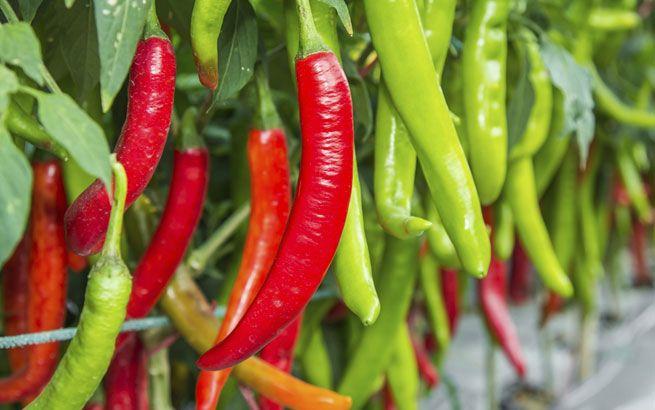 Würze im Garten: Chili pflanzen