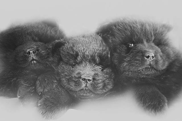 Black chow chow puppies 6 weeks old