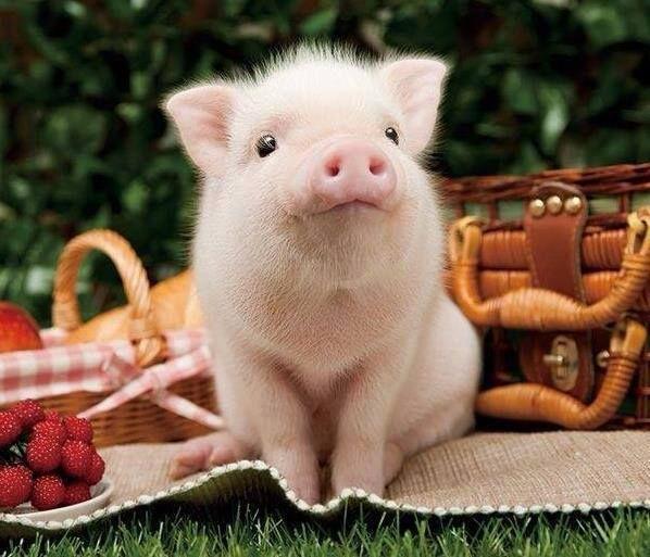 die besten 25 baby schweine ideen auf pinterest mini schweine s e baby schweine und baby. Black Bedroom Furniture Sets. Home Design Ideas