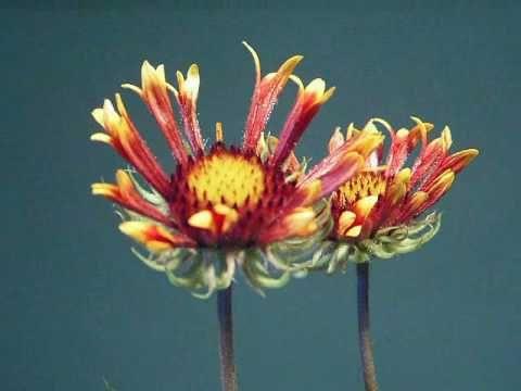 Two gaillardia flowers opening: 48 hours in 79 seconds. Beautiful.: Fabulous Flowers, Gaillarida Flowers, Flowers Power, Gaillardia Flowers, Flowers Open