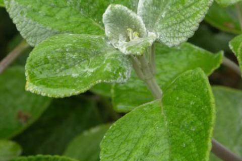 Jak pěstovat rýmovník ?.......... http://www.jaktak.cz/jak-pestovat-bylinu-rymovnik.html