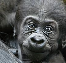 Baby Gorilla. That's a darned cute face.