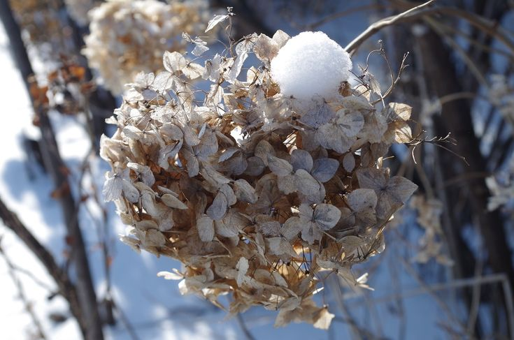 Hydrangeas hold onto their dried blooms over the winter in Ruthven Park's Edwardian Garden.