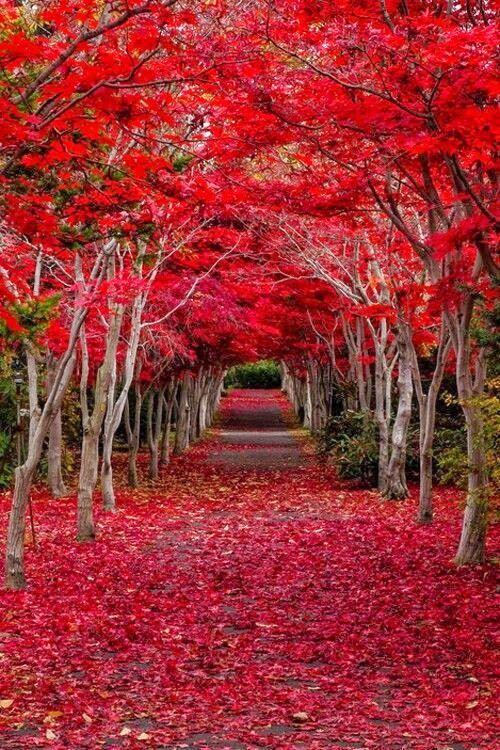 Floresta Crimson, Hokkaido, Japao.