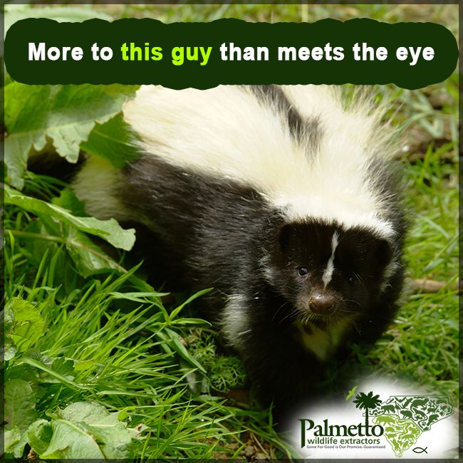 Skunks can be nuisance animals. They can cause damage to your lawn & garden. There is more to know about these animals than just their crazy behavior. Here's a few interesting skunk facts for you:        A skunk's stripes point out where the sprayer comes out.        Skunks will try to scare off their predator by doing a warning dance.        Skunks evolve their smelly spray because they're nocturnal.        Skunks can shoot their spray up to 10 feet out.#Skunks #SkunkFacts