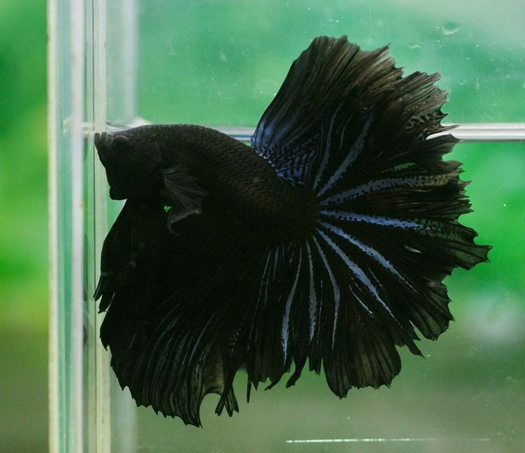 Rare betta colors google search mo 39 betta pinterest for Fish that get along with betta