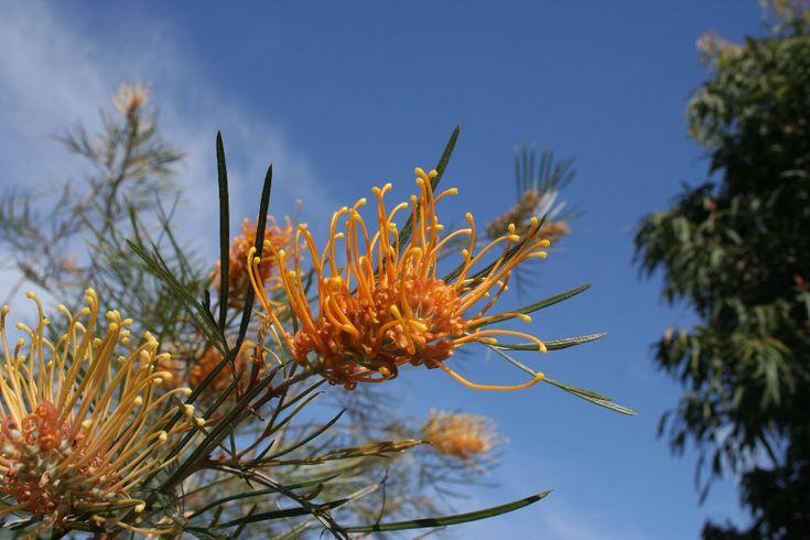 Native Australian Plants   Grevillea-Honey-Gem
