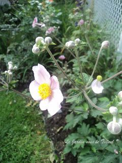 "Le Jardin sous le Tilleul: Anémone tomentosa "" Rubustissima """