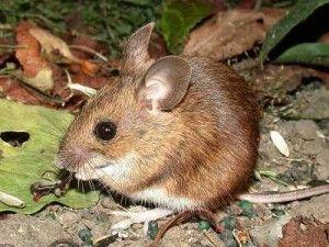 Le mulot sylvestre -  Le mulot sylvestre Apodemus sylvaticus linne Une souris inconnue de bien des gens et pourtant présente en aussi grand nombre que la souris domestique est le mulot sylvestre ou souris des bois.  Le mulot sylvestre à une grande répartition géographique.