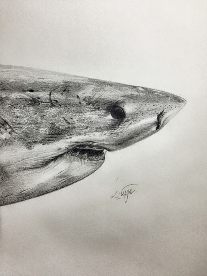 Great White pencil drawing..