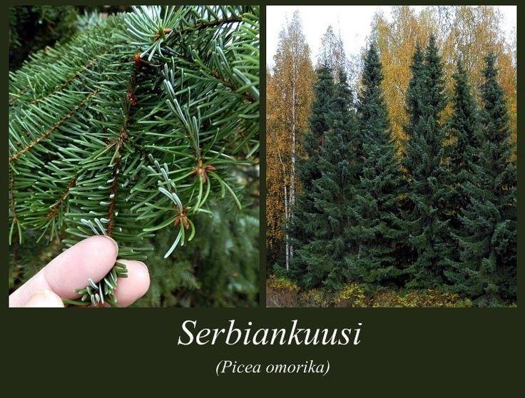 Serbiankuusi - puulajipuisto