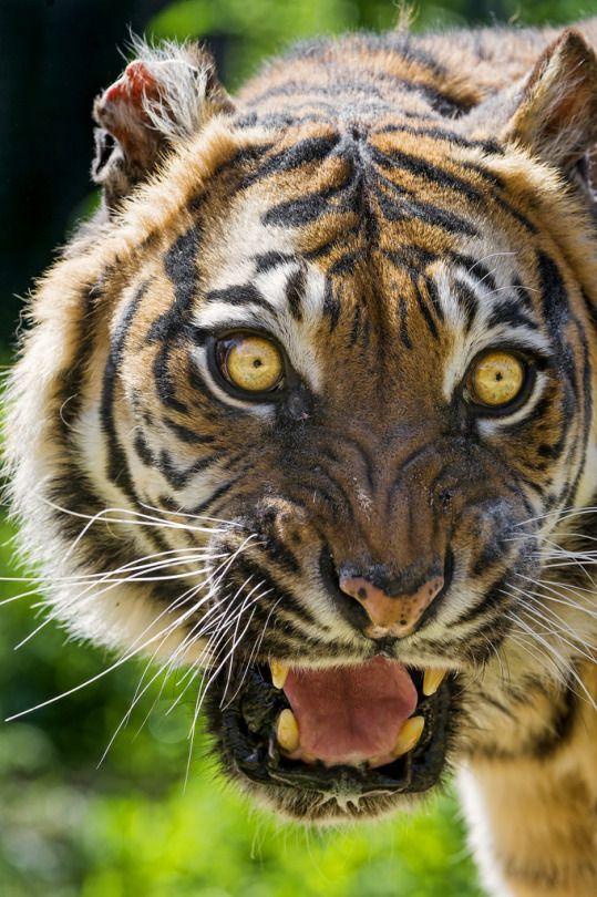 Sumatran tigress looking scary (by Tambako the Jaguar)
