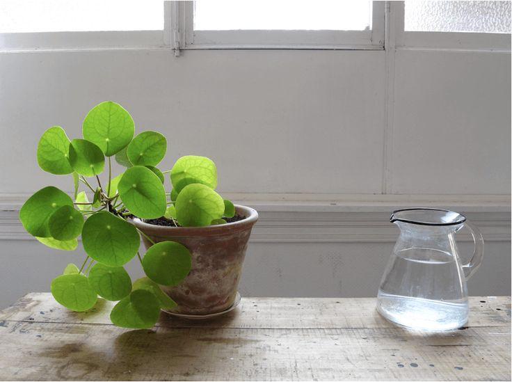 S'entourer de belles plantes : le Pilea - FrenchyFancy