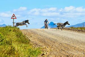 During the Pioneer Cycling Tour, Zebra crossing the road. This beautiful road between #Oudtshoorn and Calitzdorp in the #Klein #karoo is something to do when in this area. The dirt road run next to the #Swartberg #Mountains and the #Red-Stone-hills.