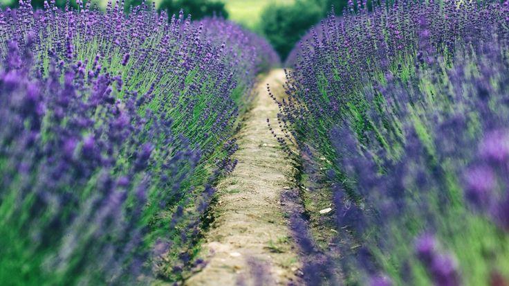 Скачать обои лаванда, поле, путь, раздел цветы в разрешении 1366x768