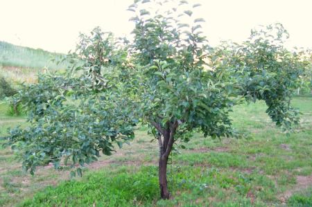17 best images about gardening fruit trees on pinterest the scaffold growing avocado and - Spring trimming orchard trees healthy ...