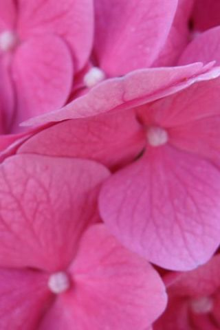 Pink hydrangea, Bloom, pink flower