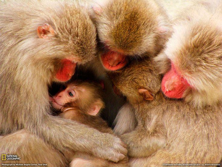 Famiglia di macachi, Giappone Fotografia di Michael Angelo Cortez