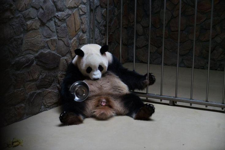 La hembra de panda gigante, Chengda, da a luz en el Centro de Conservación de Osos Pandas Gigantes de Chengdu (China). El centro de conservación anunció el 29 de junio de 2017 que Chengda, había dado a luz a un par de gemelos, un macho y una hembra.