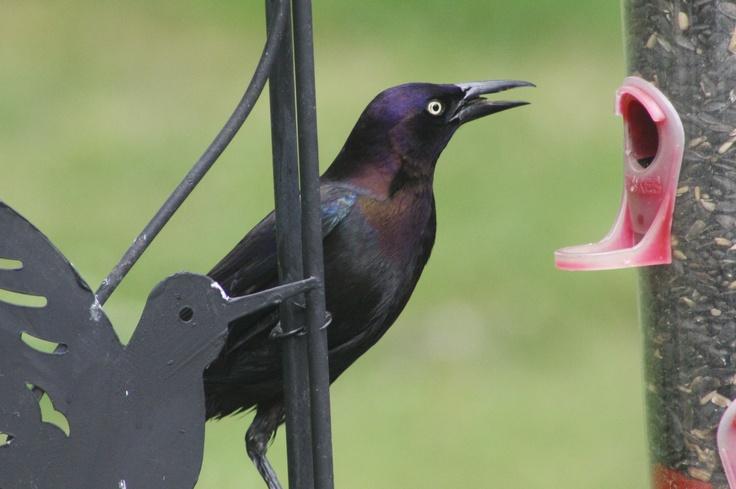 Black Bird: Birds Photographers, Mama Birds, Black Birds